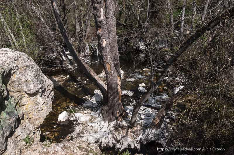 gran árbol visto desde arriba que se divide en tres troncos desde las raíces rodeado de agua