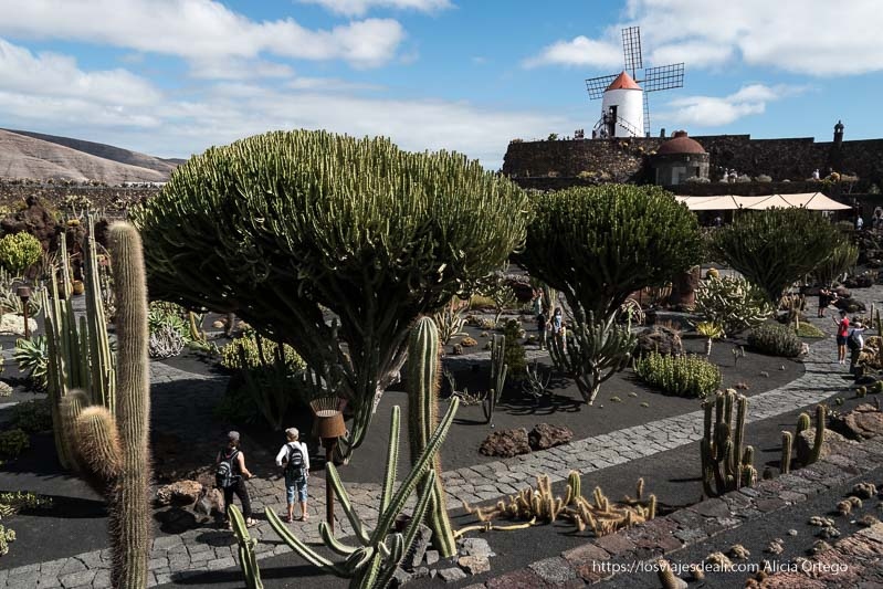vista del Jardín de cactus de Lanzarote desde una de las gradas con el molino de viento enfrente