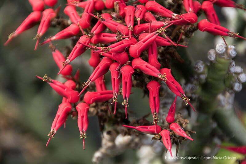 """flores muy rojas que tienen forma de pinza cerrada y son conocidas como """"zapatilla del diablo"""" en méxico"""