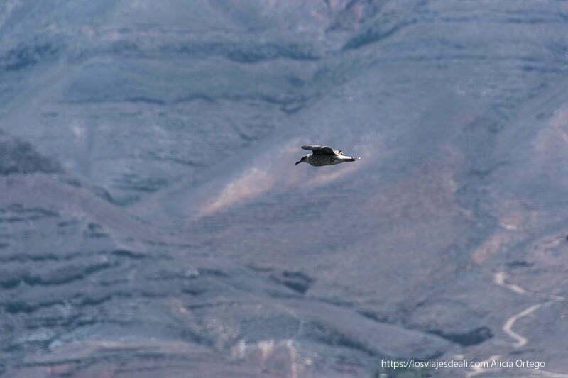 gaviota volando recortándose en el fondo de acantilados negros volcánicos