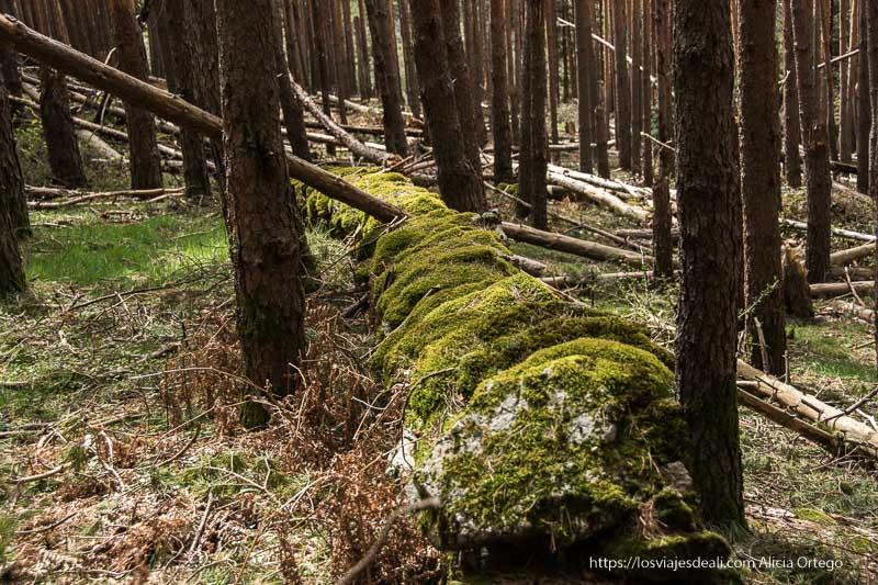 piedras cubiertas de musgo de antigua construcción en el pinar
