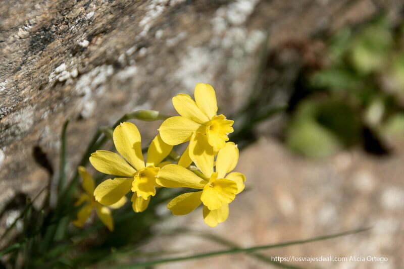 narcisos de montaña de color amarillo