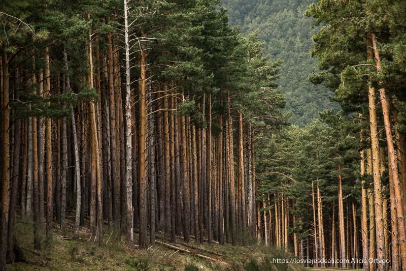 pinos silvestres altísimos con copas verdes y troncos desnudos y rectos