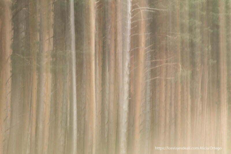 foto con movimiento de troncos de pinos silvestres