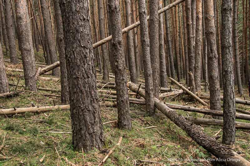 interior del pinar con troncos caídos y cruzados entre sí en el suelo