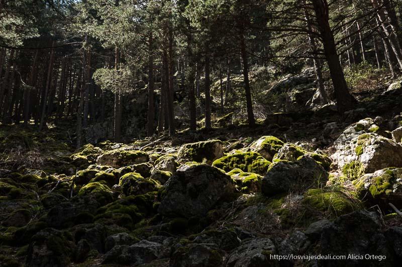 ladera llena de grandes piedras semicubiertas de musgo verde y rodeadas de pinos