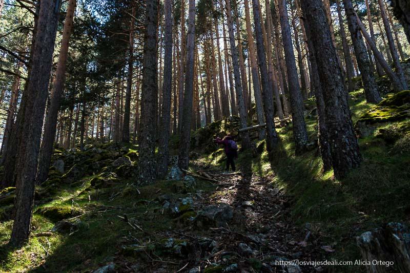 camino en cuesta entre pinos y suelo lleno de hierba