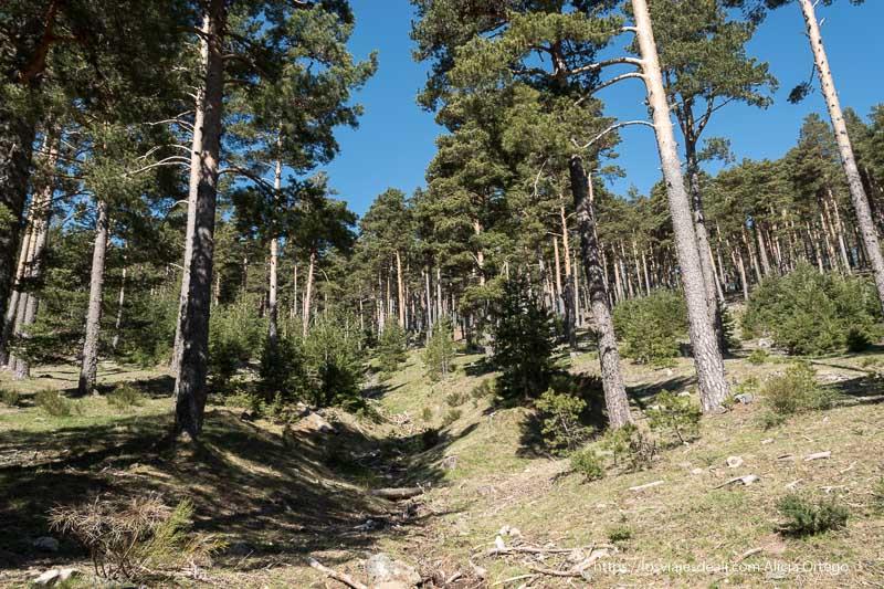 ladera del monte verde con pinos silvestres y algunos abetos pequeños