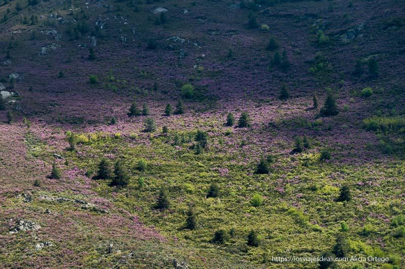 ladera del monte con color malva por la cantidad de flores de ese color