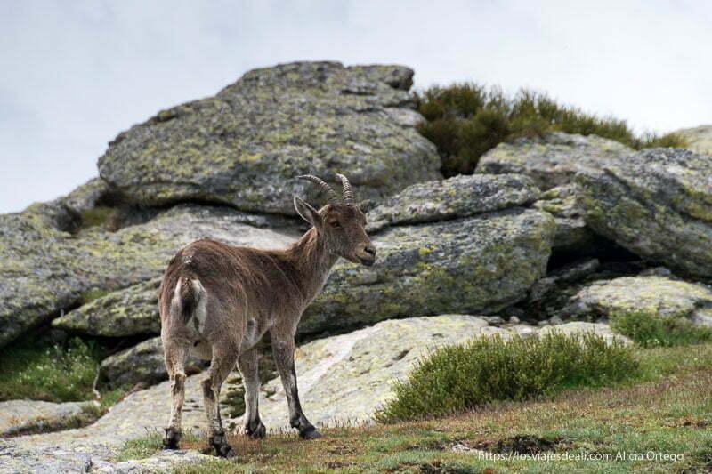 cabra montés macho con cuernos en la ruta a la loma de los bailanderos