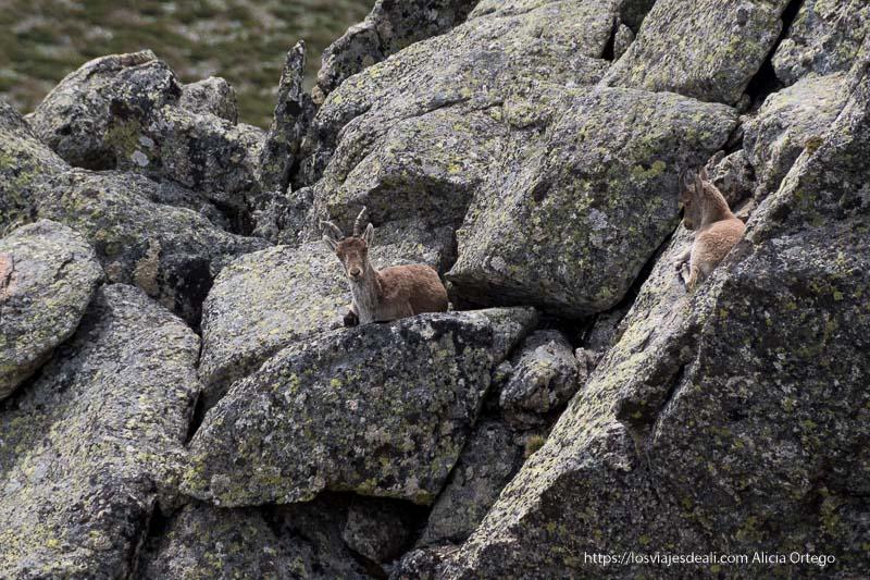 2 cabras montesas sentadas en las rocas en la ruta a la loma de los bailanderos