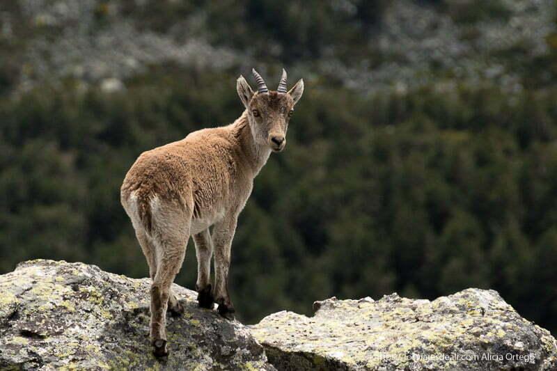 cabra montés al borde de una roca con pequeños cuernos mirando a cámara