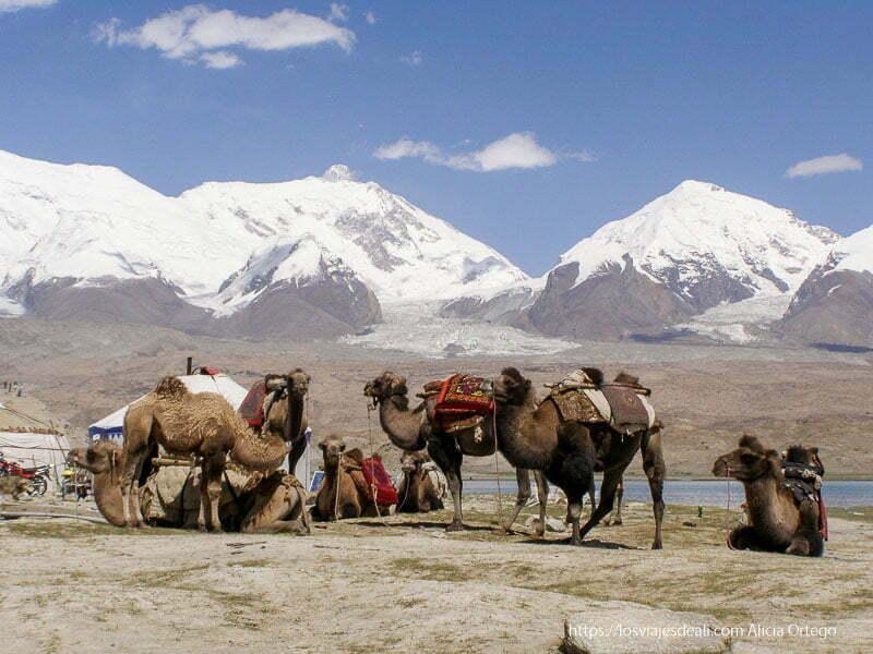 camellos bactrianos con mantas de colores en la silla y al fondo grandes picos con nieve y glaciares