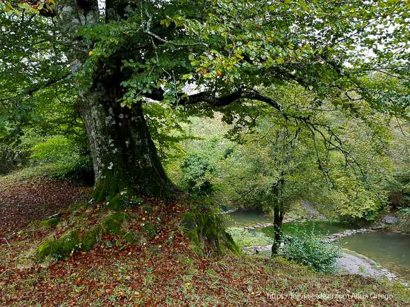 haya grande que extiende sus ramas hacia las lagunas del arroyo de Monte Santiago