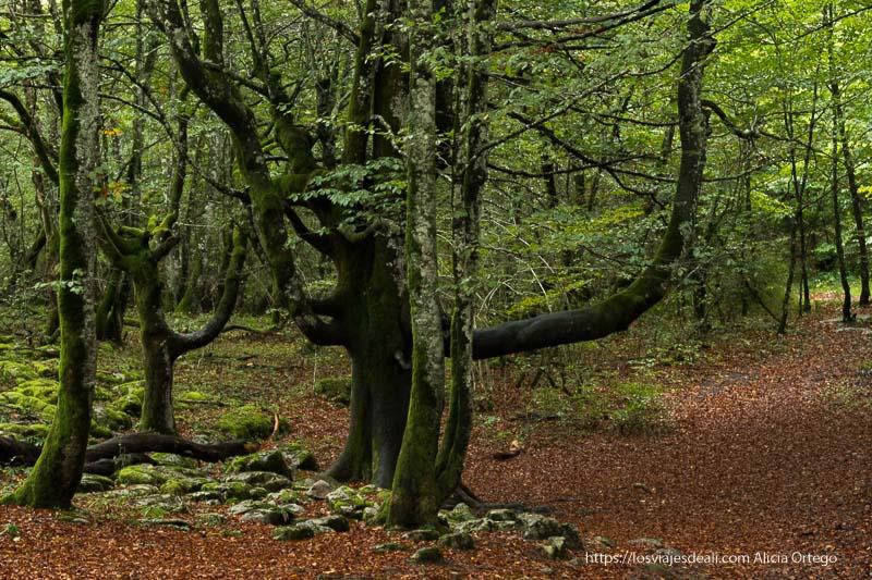 bosque de hayas con musgo verde en los troncos y suelo lleno de hojas secas