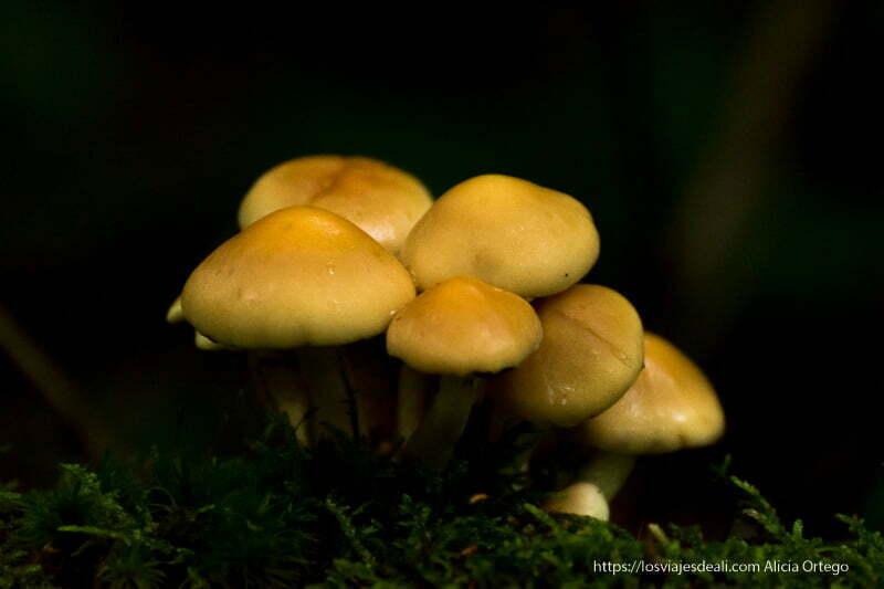 grupo de hongos de color azulado sobre musgo verde