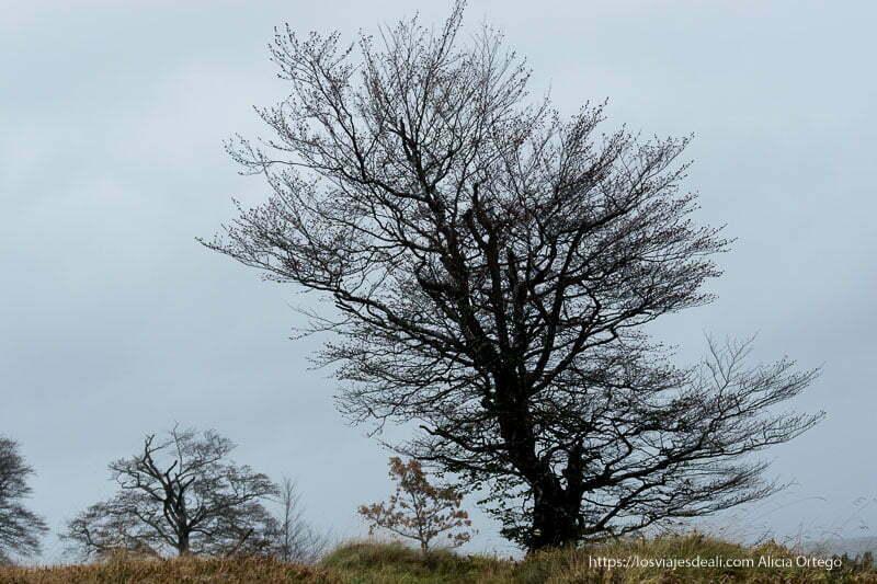 árbol grande con ramas desnudas entre la niebla