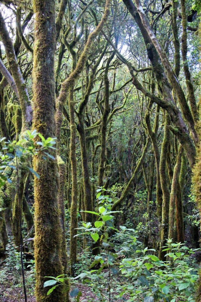 Bosque de Laurisilva, Raso de la Bruma, Garajonay-