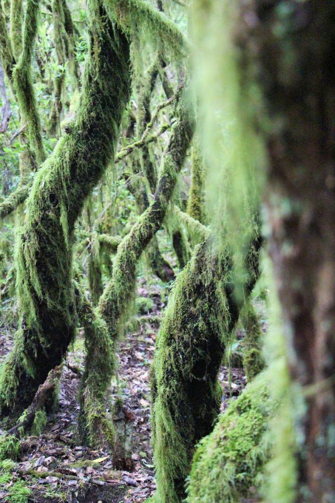 Bosque de Laurisilva, Raso de la Bruma.Garajonay