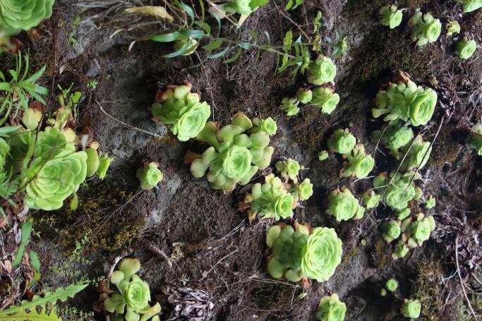 Vegetación en el Sendero El Bailadero, La Gomera
