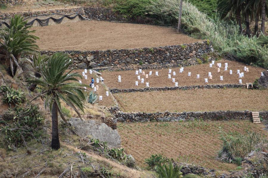 Recogiendo patatas en Vallehermoso, La Gomera