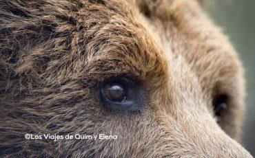 La mirada del oso en Cabárceno