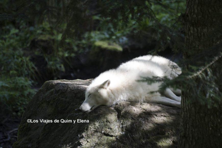 El lobo blanco en Arán Park