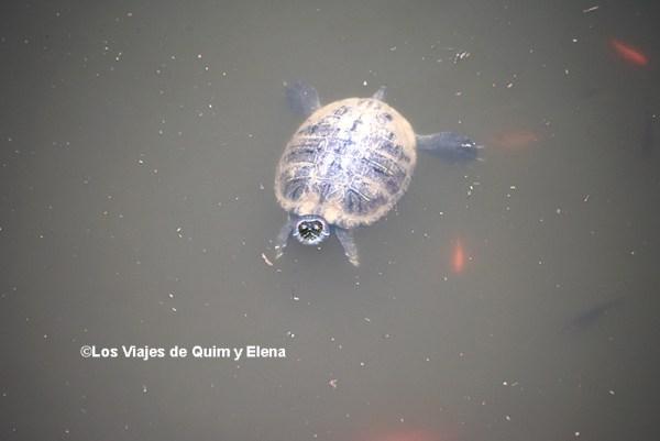 Una tortuga invasora