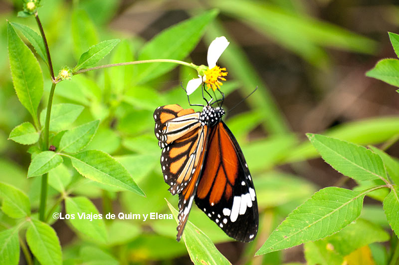 Mariposa Monarca en Vietnam