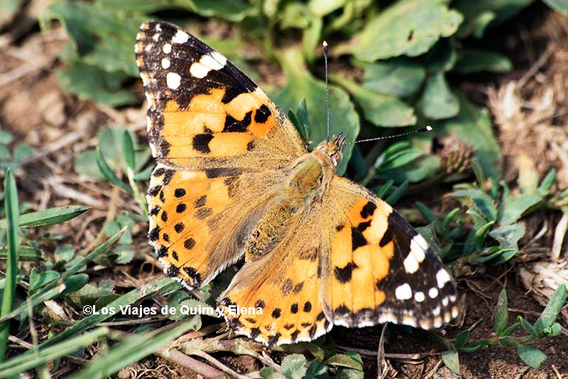 Mariposa Cardera o Bella Dama