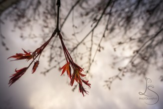 Japanese Spring Maple