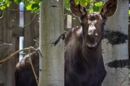 The Moose of Grand Lake