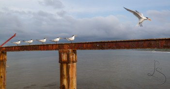 A group of royal terns perch upon the remains of an old pier in Costa Rica.