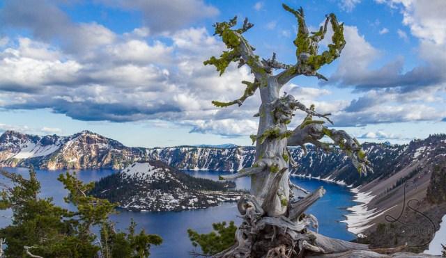 Gnarled tree on the rim at Crater Lake National Park | LotsaSmiles Photography