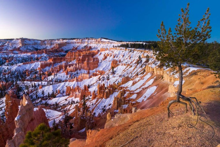 A scraggly tree clinging to the ground above the rim of a snowy Bryce Canyon at sunrise