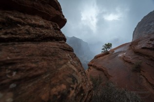 A single tree braves a rocky cliff in Zion National Park and finds a tiny crack in which to establish life
