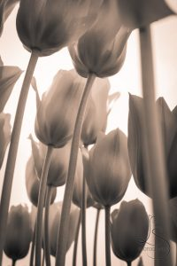 LotsaSmiles Photography - From Under Tulips