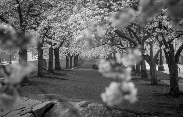 Monochrome image between two rows of cherry blossom trees | LotsaSmiles Photography