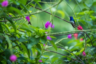 A hummingbird rests as a butterfly lands on a bush in Costa Rica.