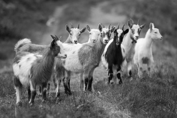 Eight goats on a grassy road, most looking at the camera, in monochrome | LotsaSmiles Photography