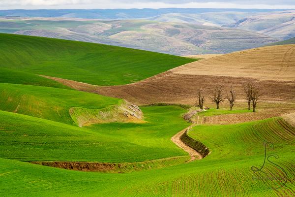 Green and tan rolling hills of Washington's Palouse | LotsaSmiles Photography