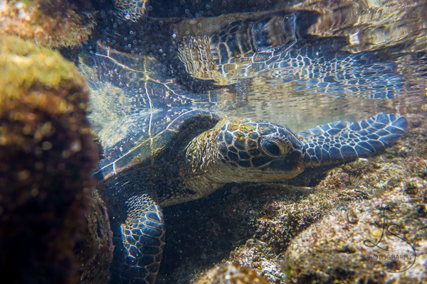 Sea turtle underwater in a seaside lagoon | LotsaSmiles Photography