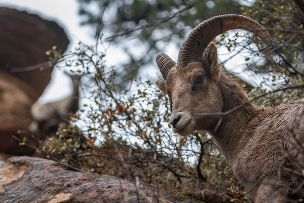 Bighorn sheep on a mountainside in Zion National Park | LotsaSmiles Photography