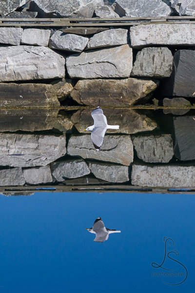 A seagull flying low over the mirror-smooth water at Kyrping, Norway | LotsaSmiles Photography