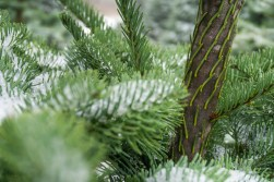Hundreds of trees are available for sale at local tree farms every holiday season.