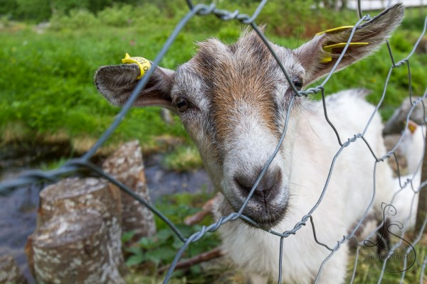 A friendly goat peering through a fence in Geiranger | LotsaSmiles Photography