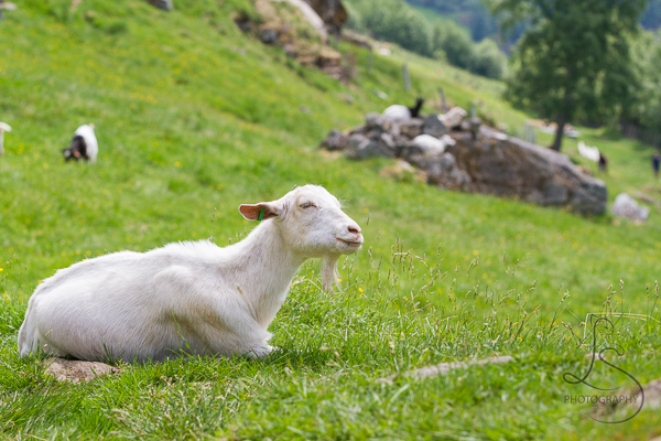 A goat just chilling in the grass in Geiranger | LotsaSmiles Photography