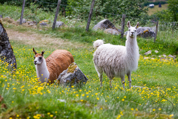 Two llamas in a flowery field in Geiranger | LotsaSmiles Photography