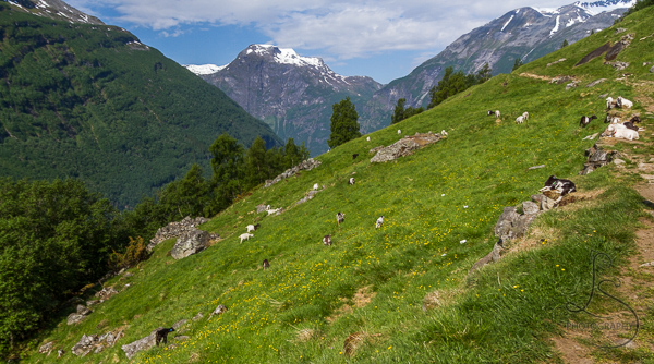 A grassy hillside dotted with lounging goats in Geiranger | LotsaSmiles Photography