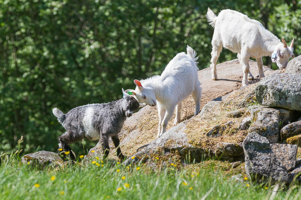 Two goats head-butting while a third checks out the top of the rock the other two are fighting over | LotsaSmiles Photography